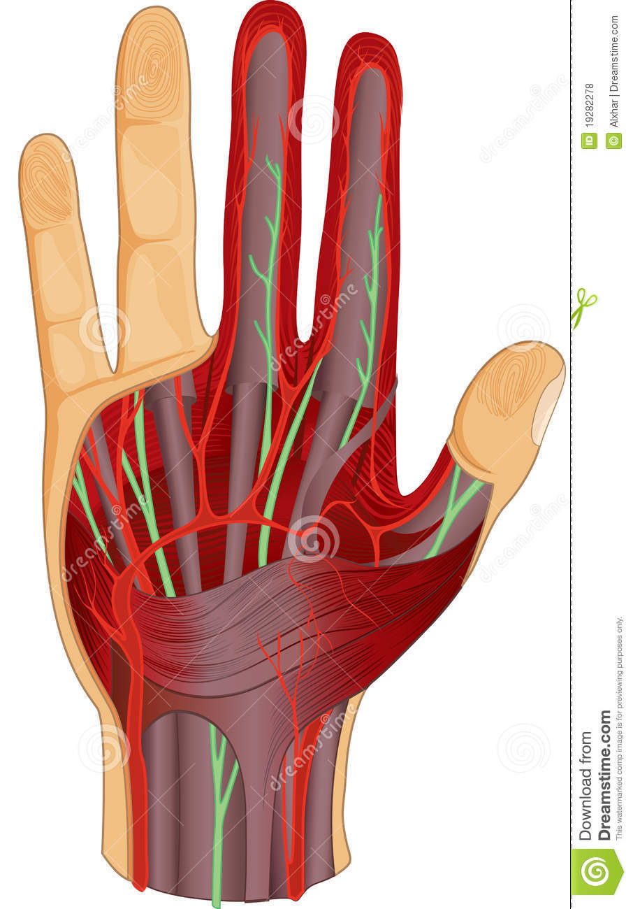 Human Hand Nerves And Muscle Stock Illustration Illustration Of