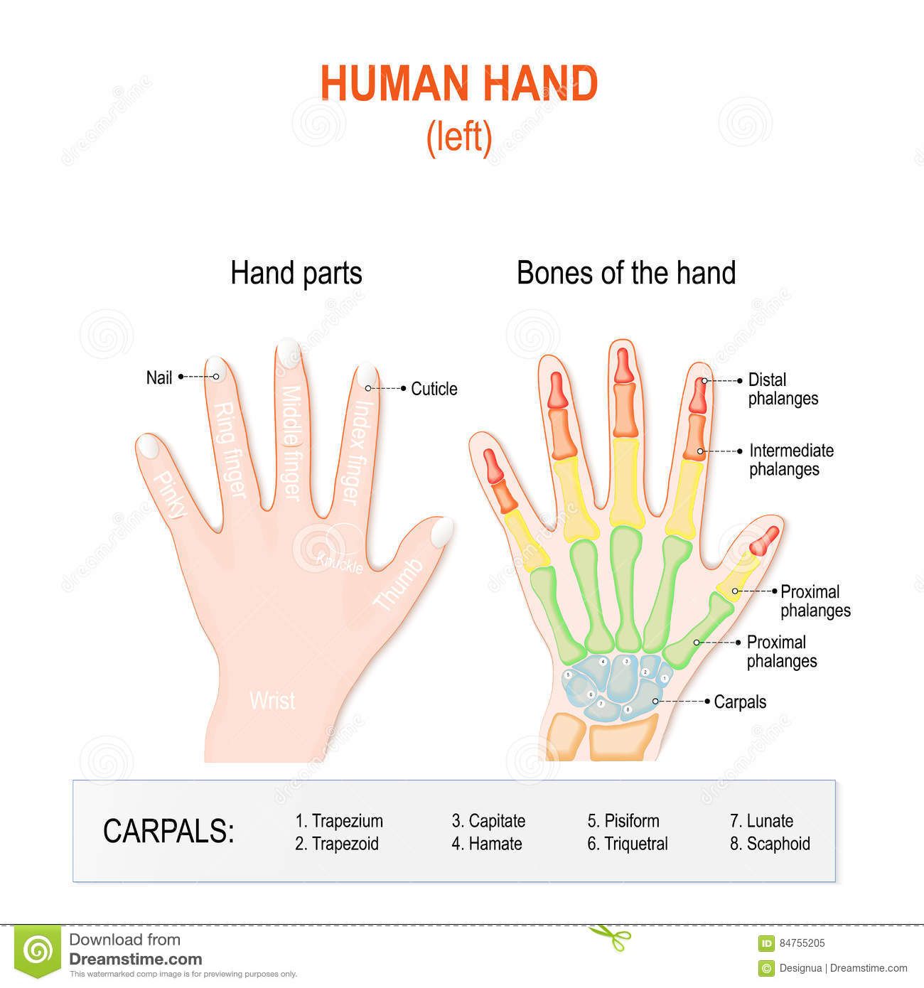 human hand parts and bones stock vector illustration of medicine