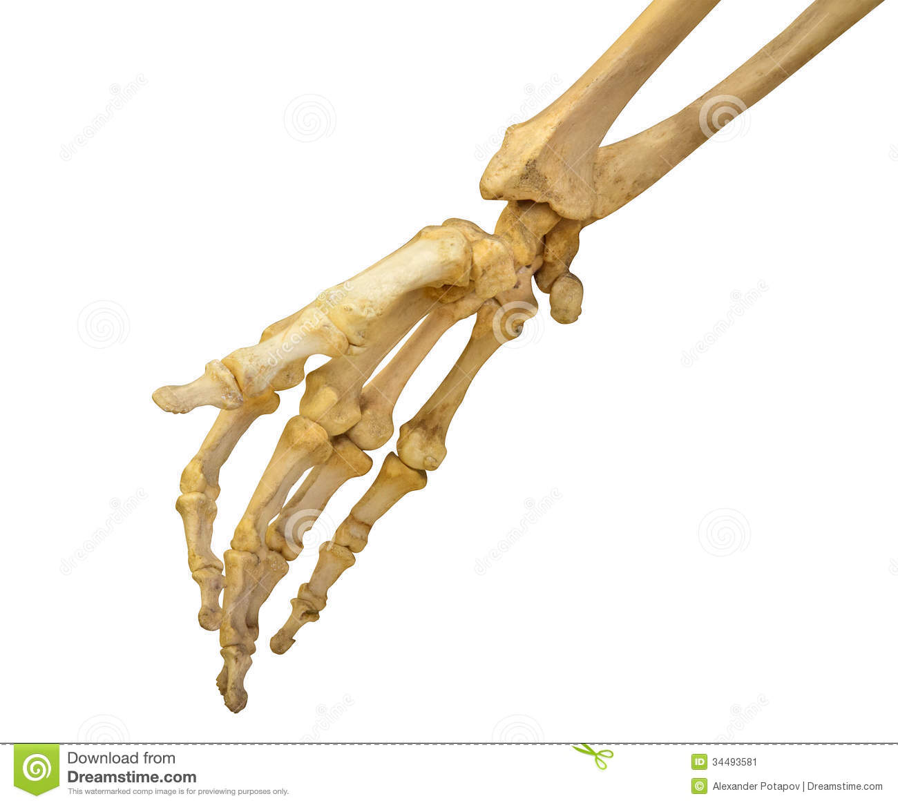 Human hand skeleton on white
