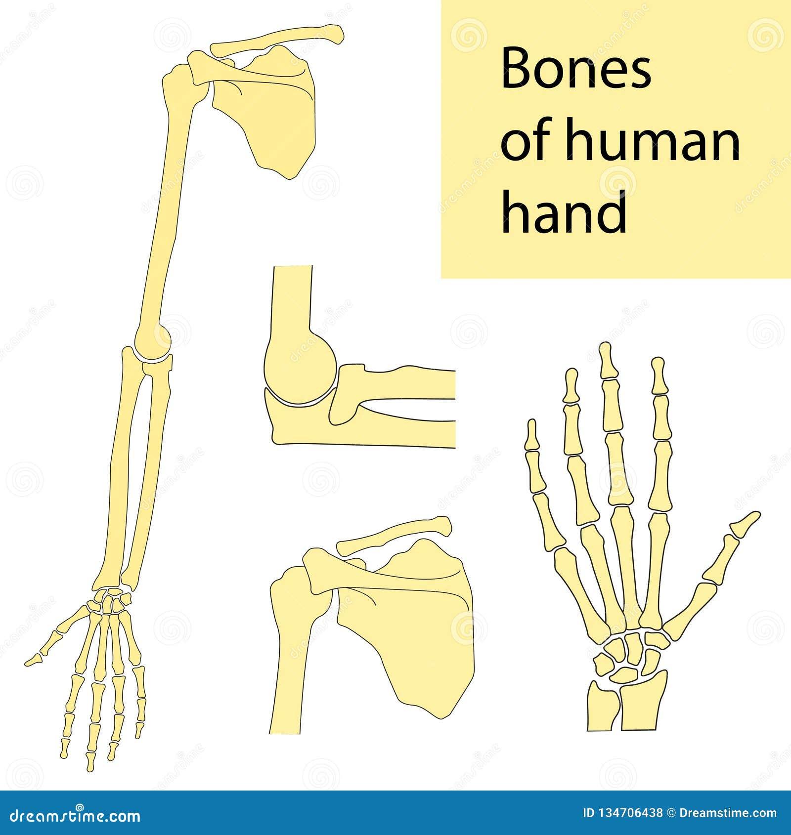 Set Of Vector Illustrations Of Human Hand Skeletal Anatomy Stock