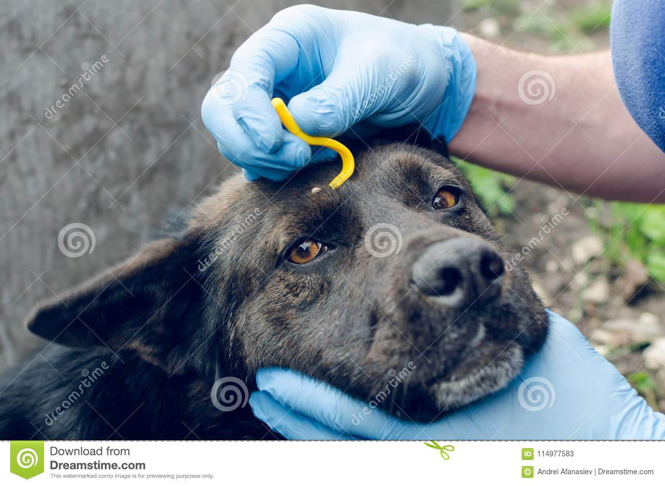 Human hands in blue gloves remove the tick with the hook of the dog