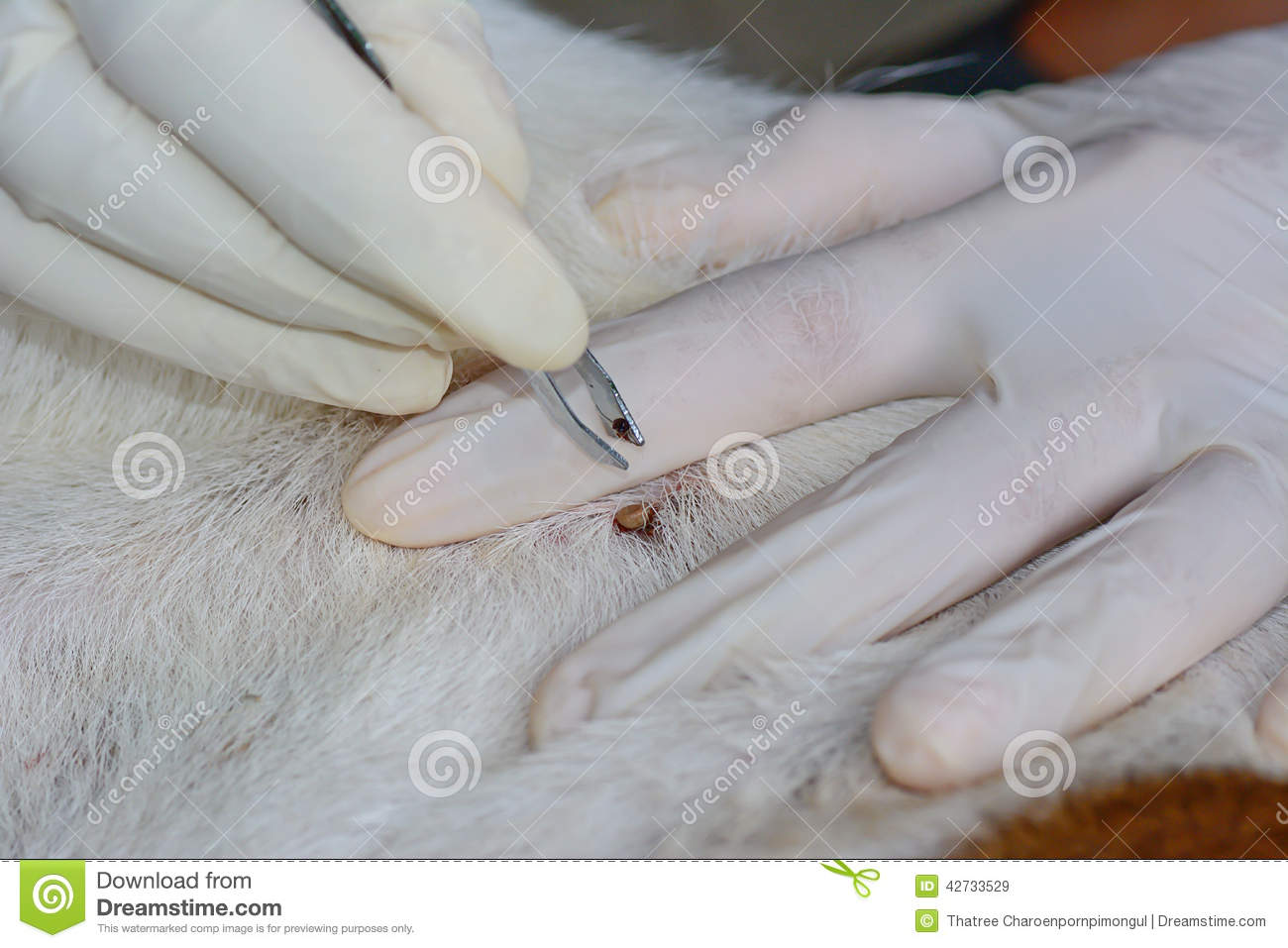 Human hands use silver pliers to remove dog adult tick fro