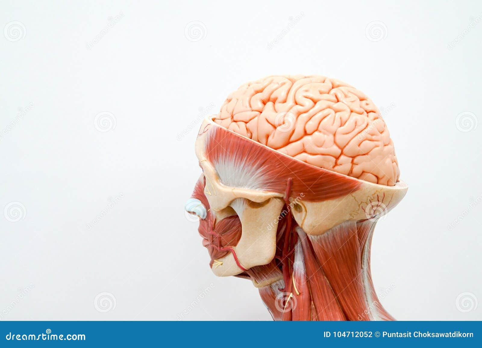Human Head Anatomy Model Stock Photo Image Of Medicine 104712052