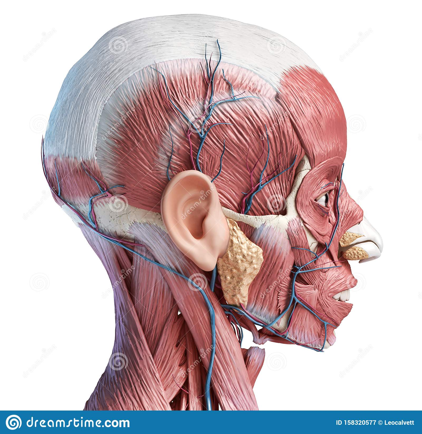 Human Head Muscles With Veins And Arteries. Side View