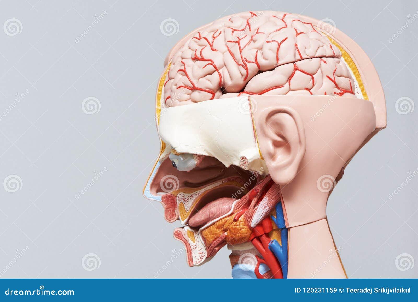 Human Head And Neck Anatomy Model Stock Image Image Of Background