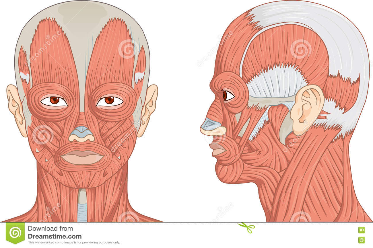 Diagram Of Anterior Head Schematics Wiring Diagrams