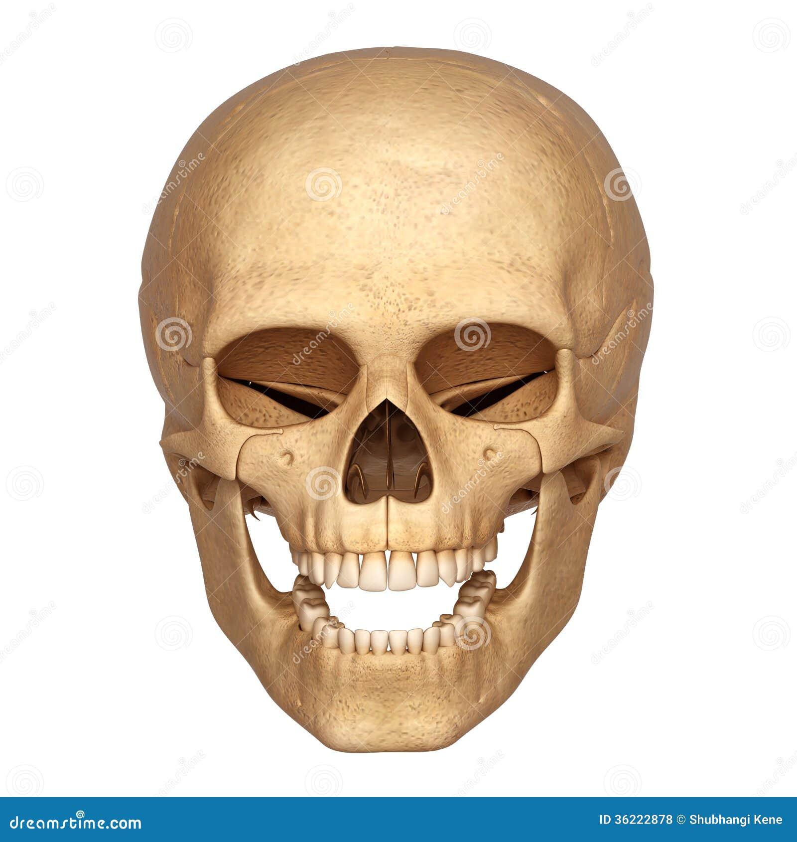 human head skeleton royalty free stock photos - image: 36222878, Skeleton