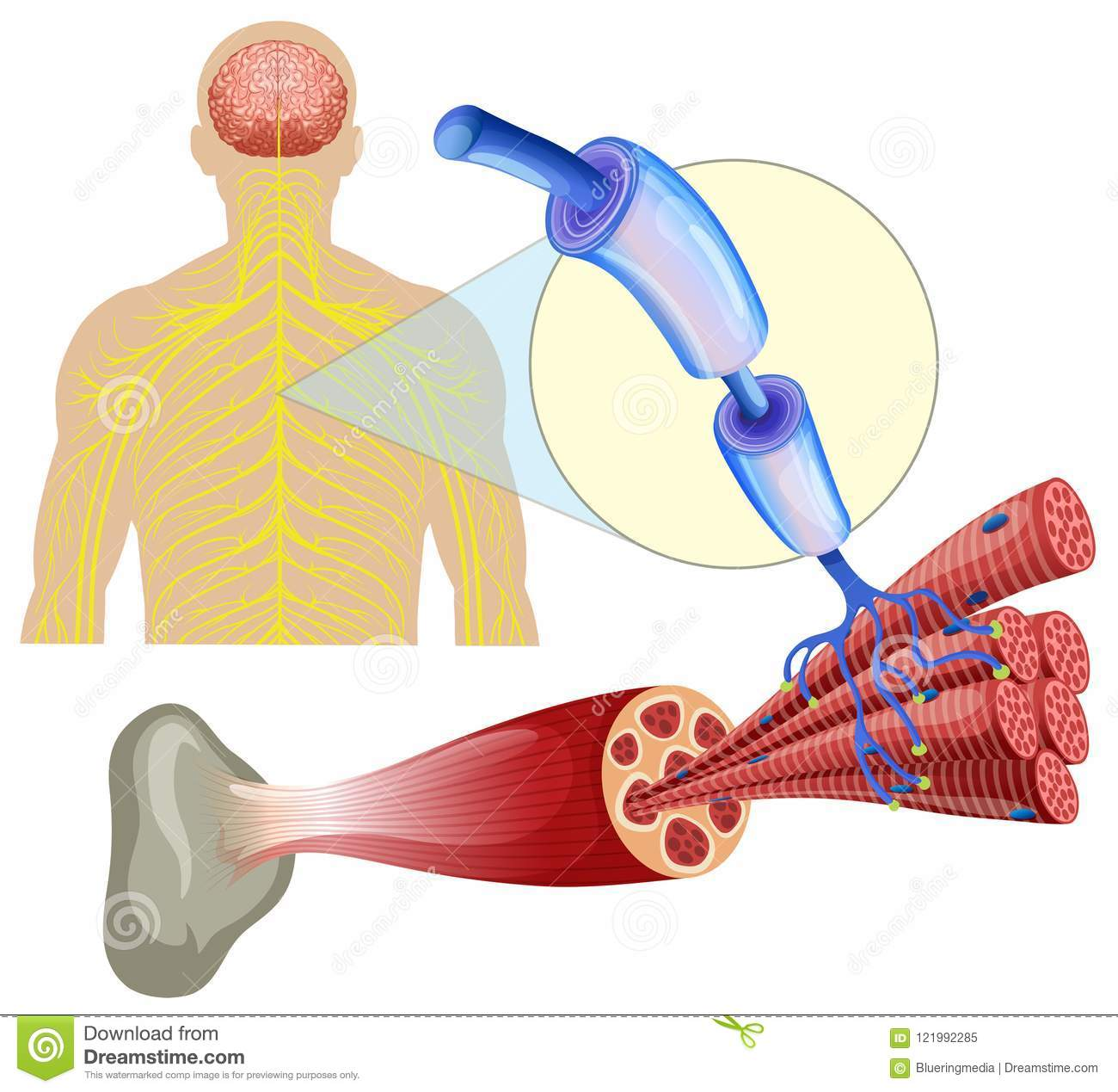 Human Healthy Muscle Nerves Stock Vector Illustration Of Tissue