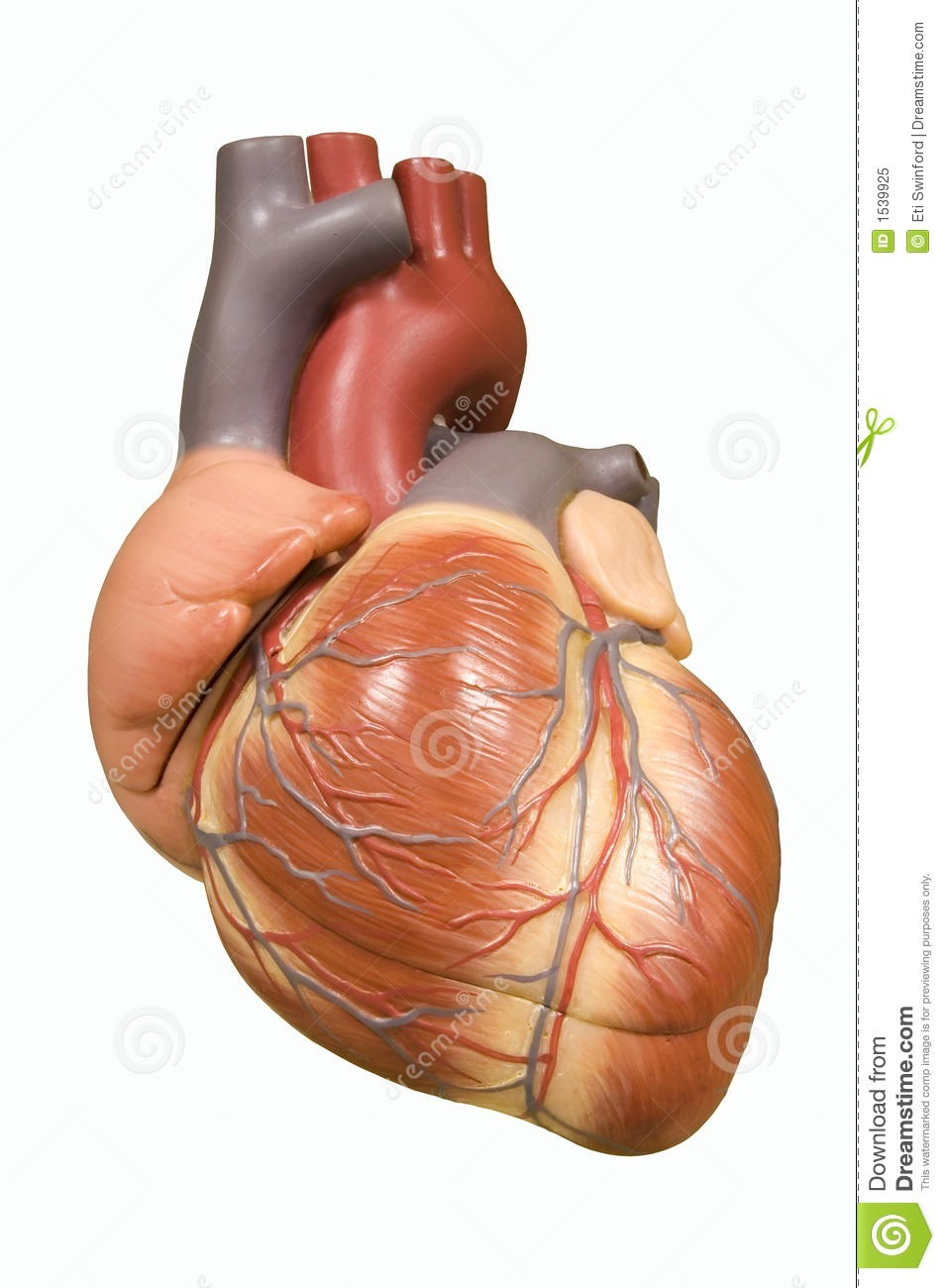 Human Heart Stock Image Image Of Care Oxygenation Chambers 1539925