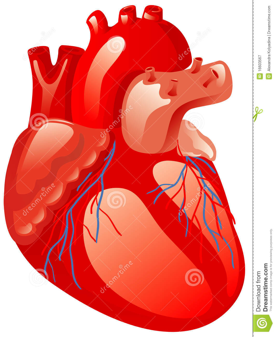Human heart royalty free stock photography image 16603567 for Clipart cuore