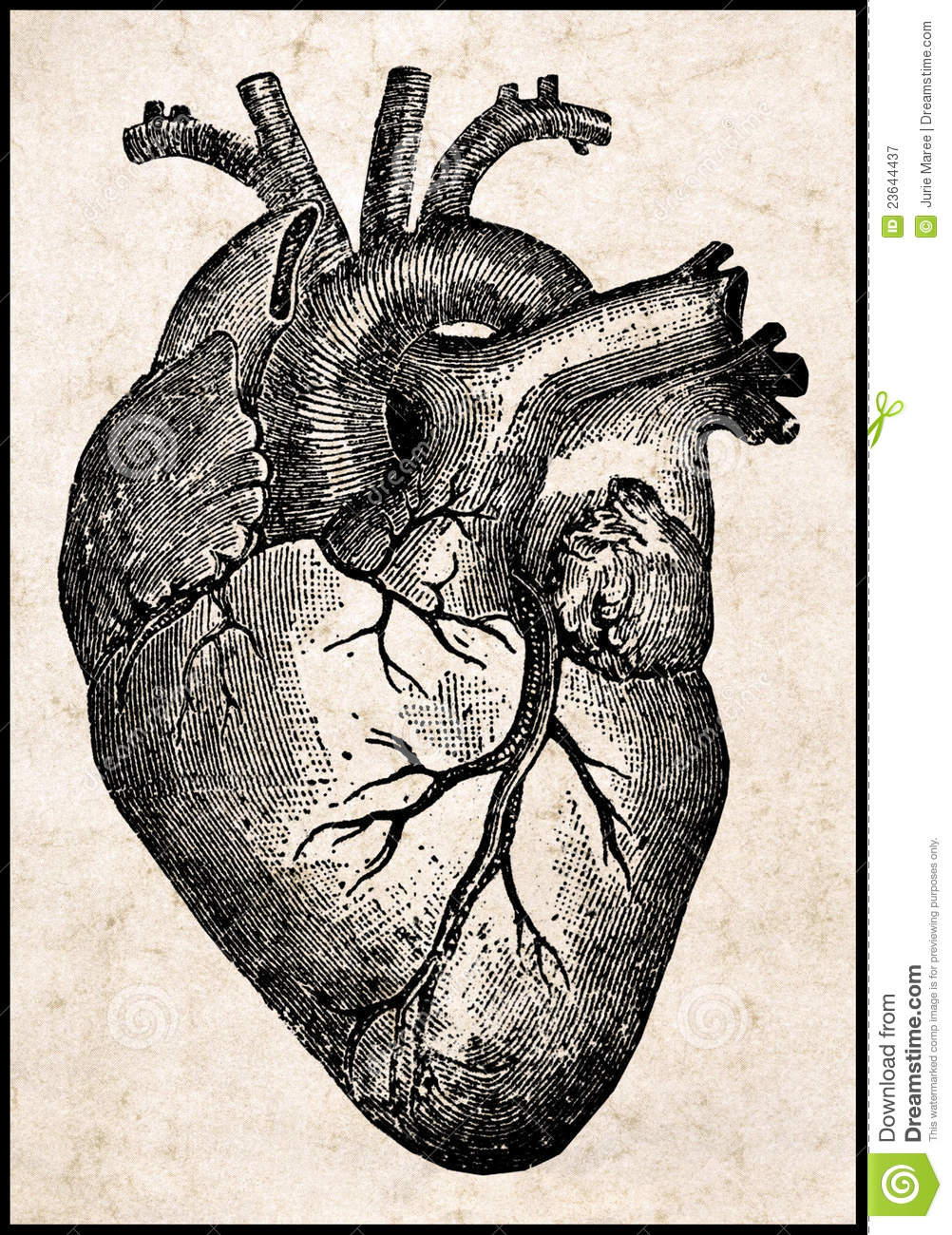 Human Heart. Royalty Free Stock Photography - Image: 23644437