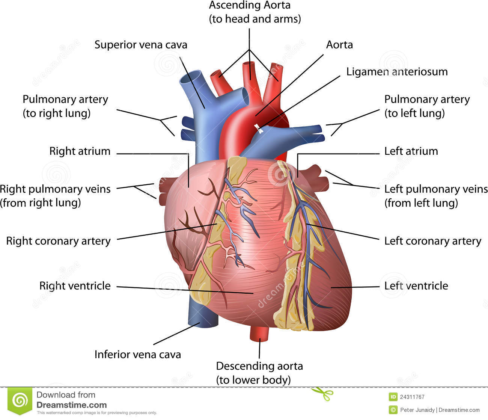 Human heart stock vector illustration of human anatomy 24311767 human heart ccuart Choice Image