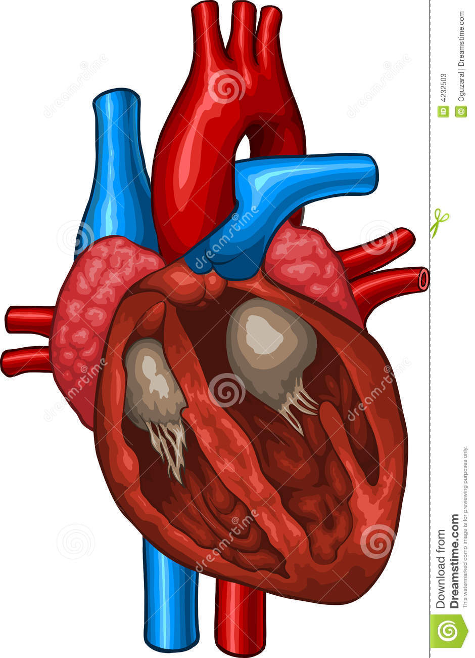 Human Heart Stock Vector  Illustration Of Chest  Anatomy