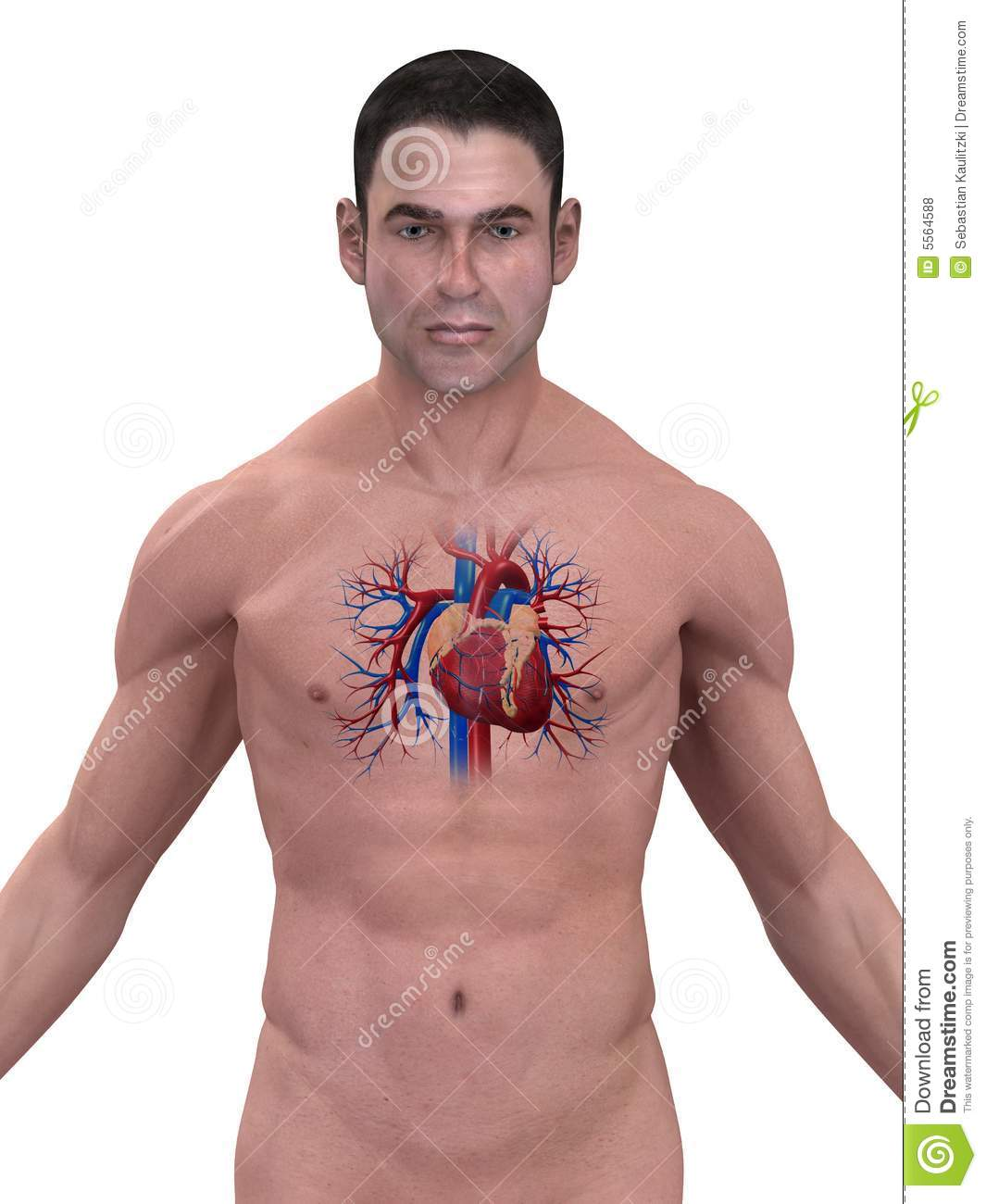 Human heart stock illustration image of male cardiovascular human heart ccuart Images