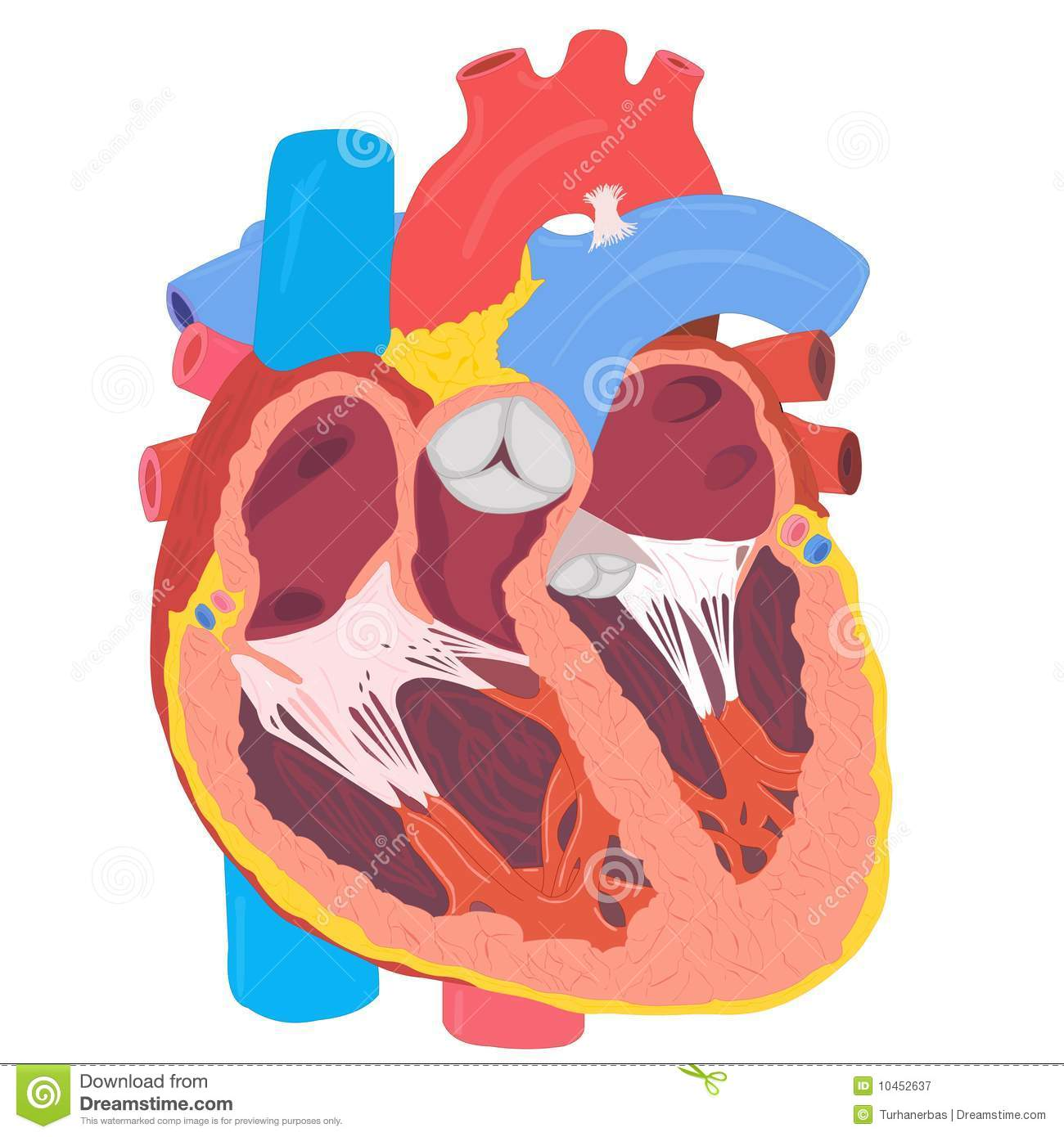 Human heart anatomy stock vector illustration of pulse 10452637 download comp ccuart Images