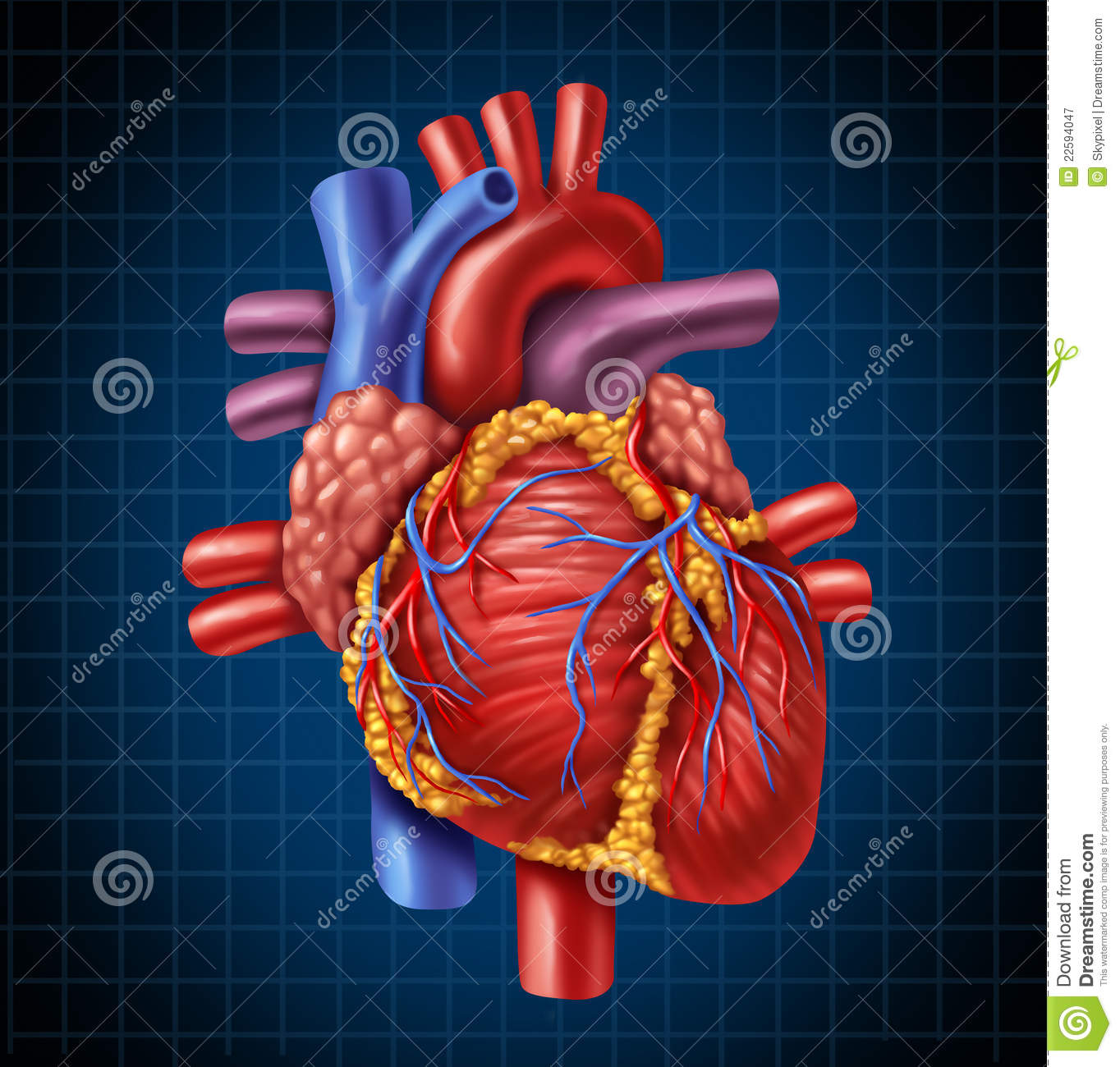 Human Heart Anatomy stock illustration. Illustration of chart - 22594047