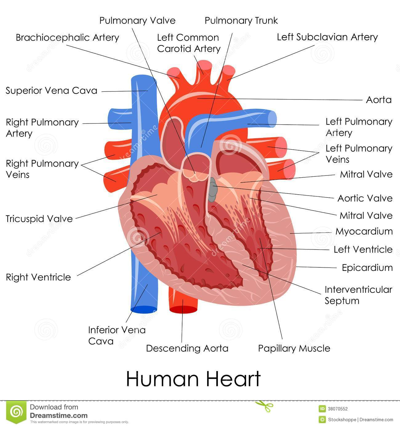 Human Heart Anatomy Stock Vector  Illustration Of Anatomy