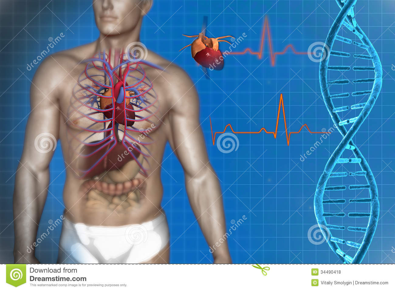 Human heart anatomy stock illustration. Illustration of internal ...
