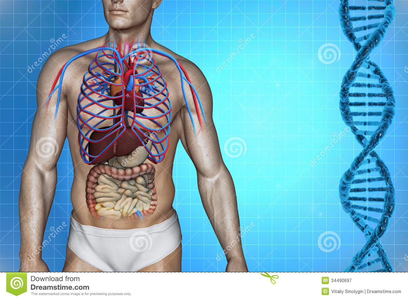 Human heart anatomy stock illustration. Illustration of cava - 34490697