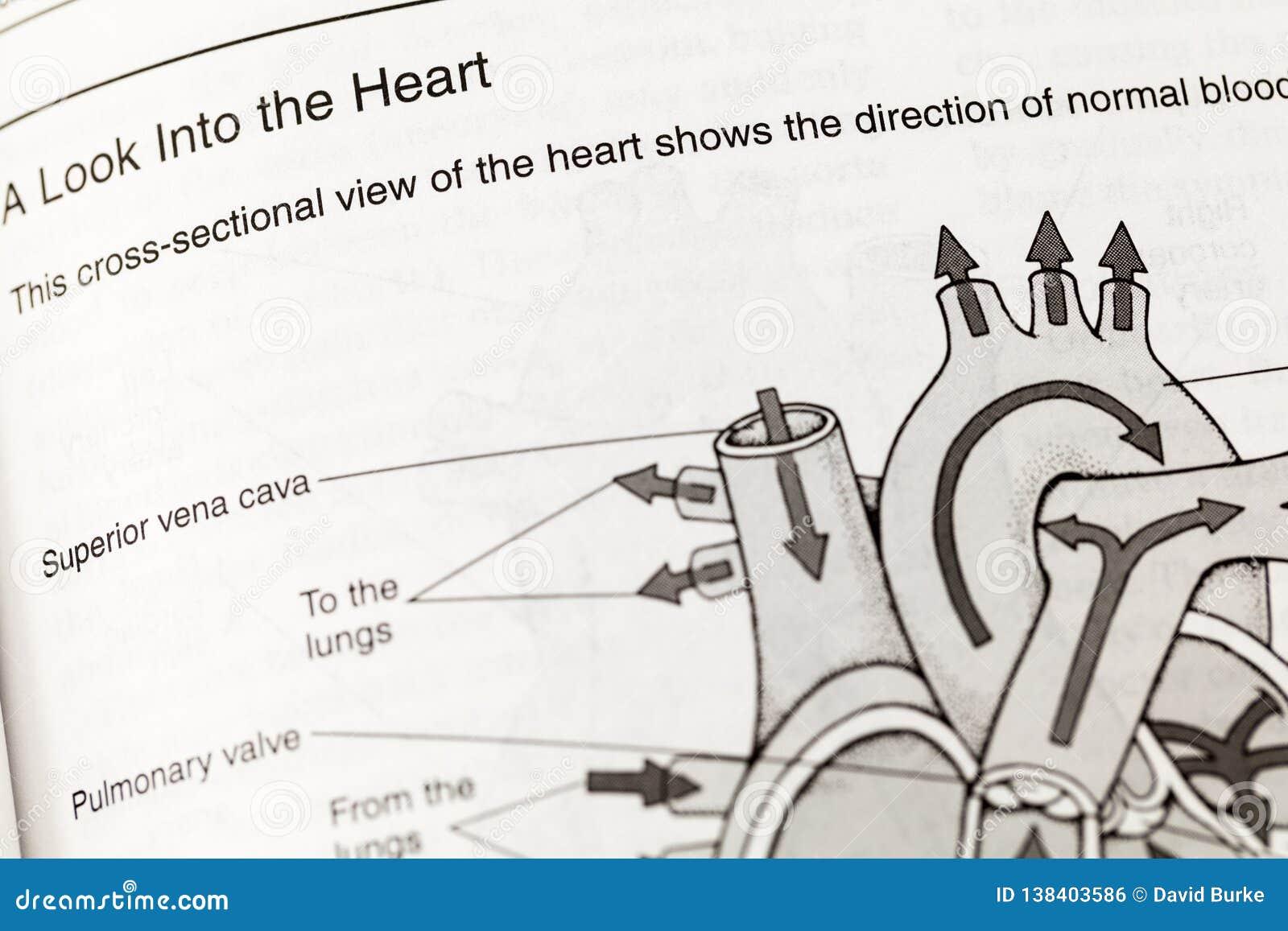 Human Heart Anatomy Circulation Definition Stock Photo Image Of