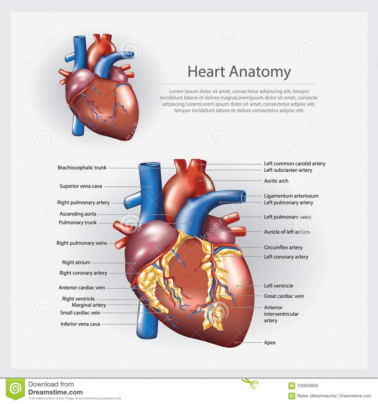 Human Heart Anatomy Vector Illustration Stock Vector - Illustration ...