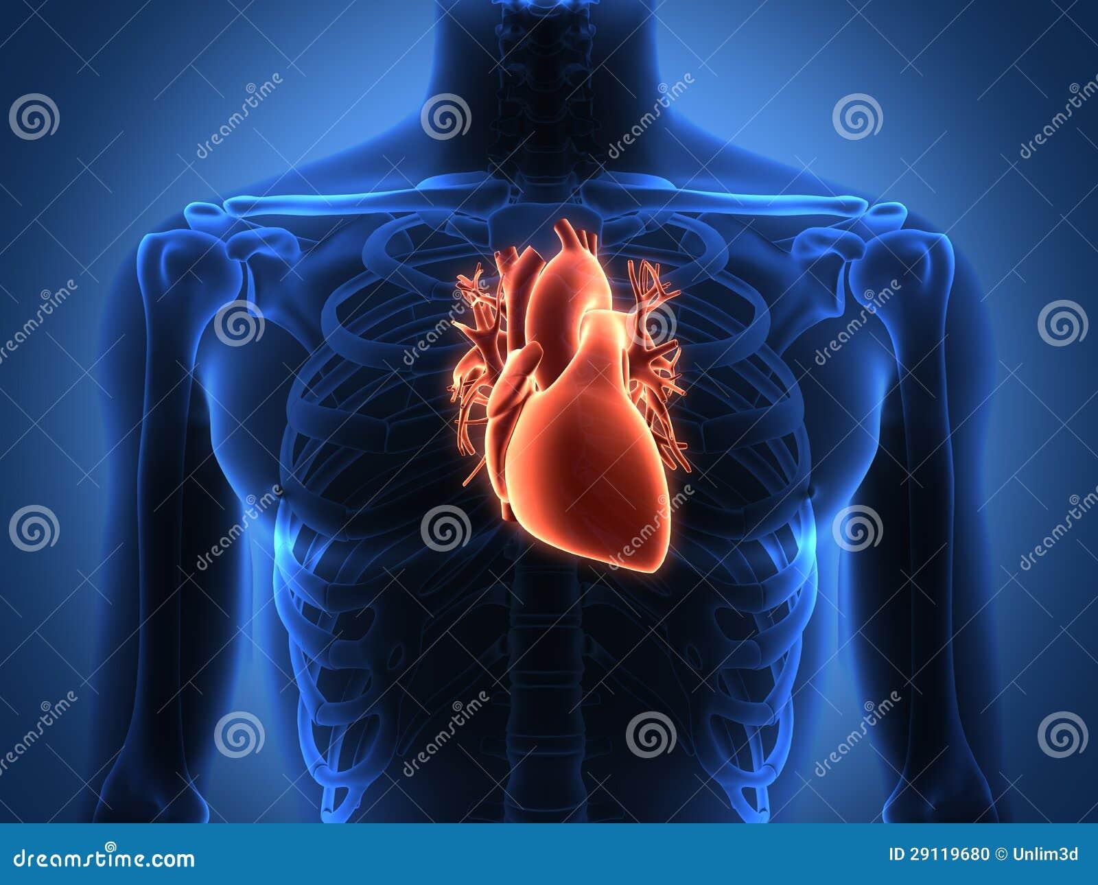 Показать где находится сердце