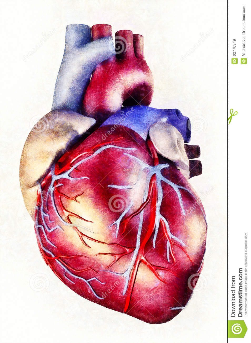 Human Heart Anatomy Illustration Stock Illustration Illustration
