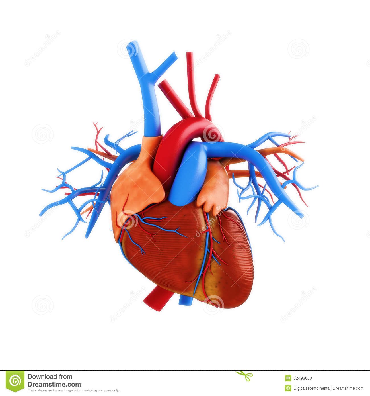 human heart anatomy illustration stock illustration - image: 62821929, Muscles
