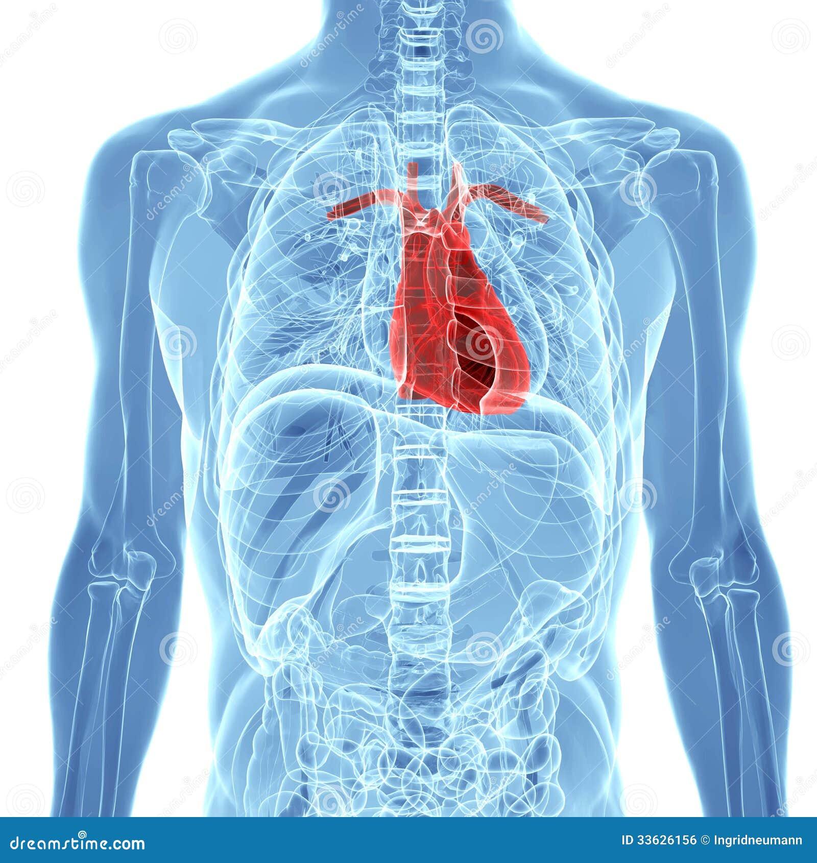 Human Heart Anatomy Stock Illustration Illustration Of Chest 33626156