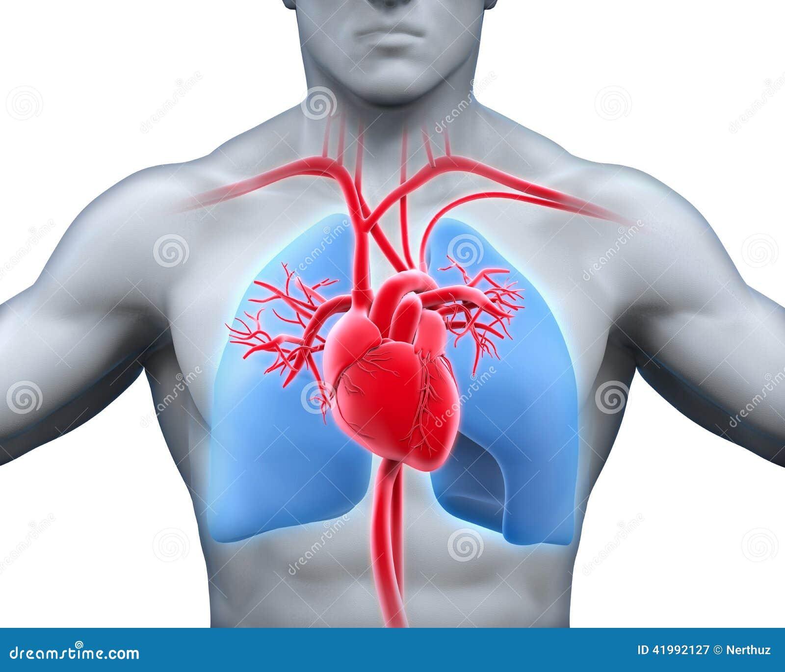 Human Heart Anatomy Stock Illustration Illustration Of Artery