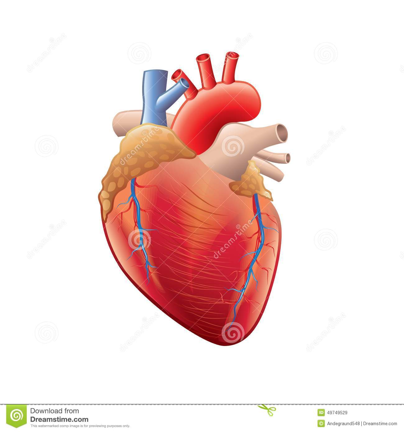 Human Heart Anatomy Isolated On White Vector Stock Vector - Image ...
