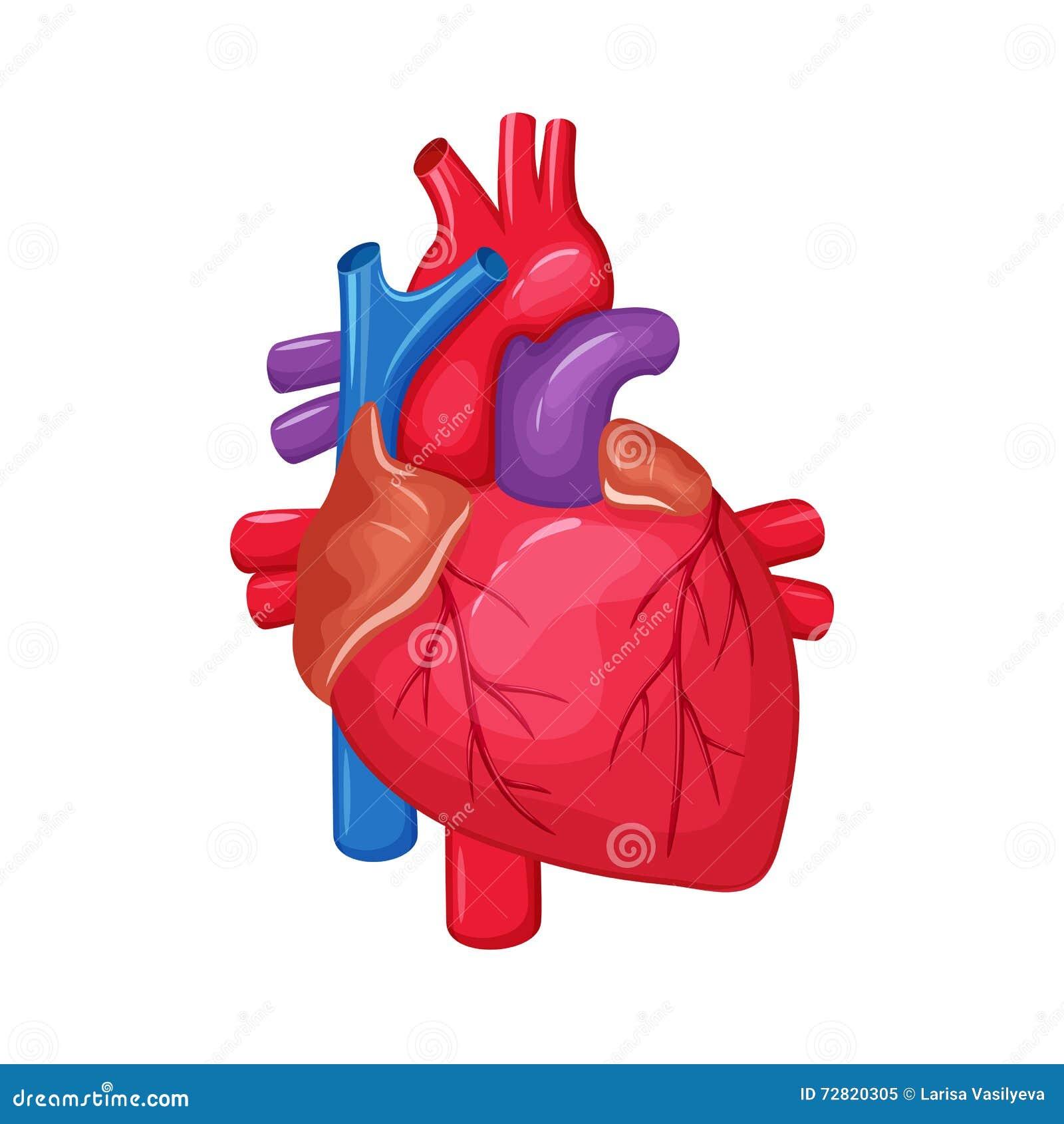 Human Heart Anatomy Stock Vector Illustration Of Circulation 72820305