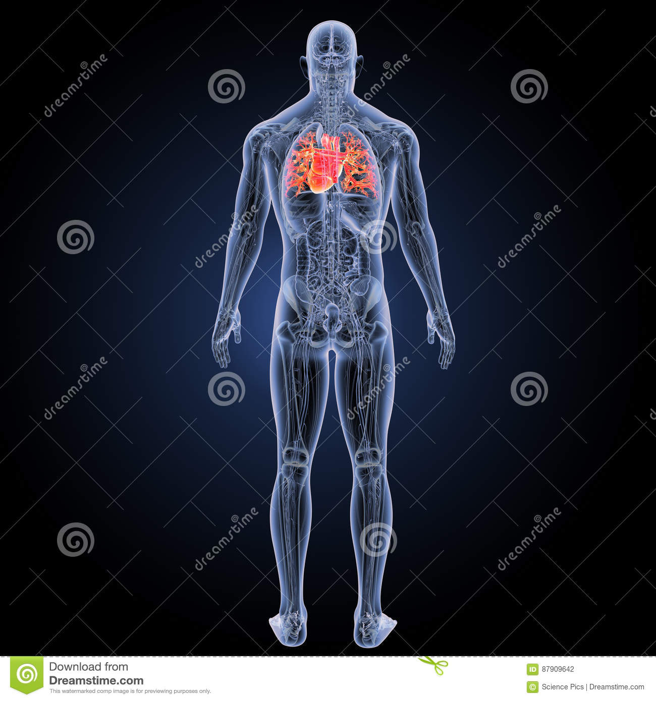 Human heart with anatomy posterior view stock photo image of download human heart with anatomy posterior view stock photo image of atrioventricular carotid ccuart Choice Image