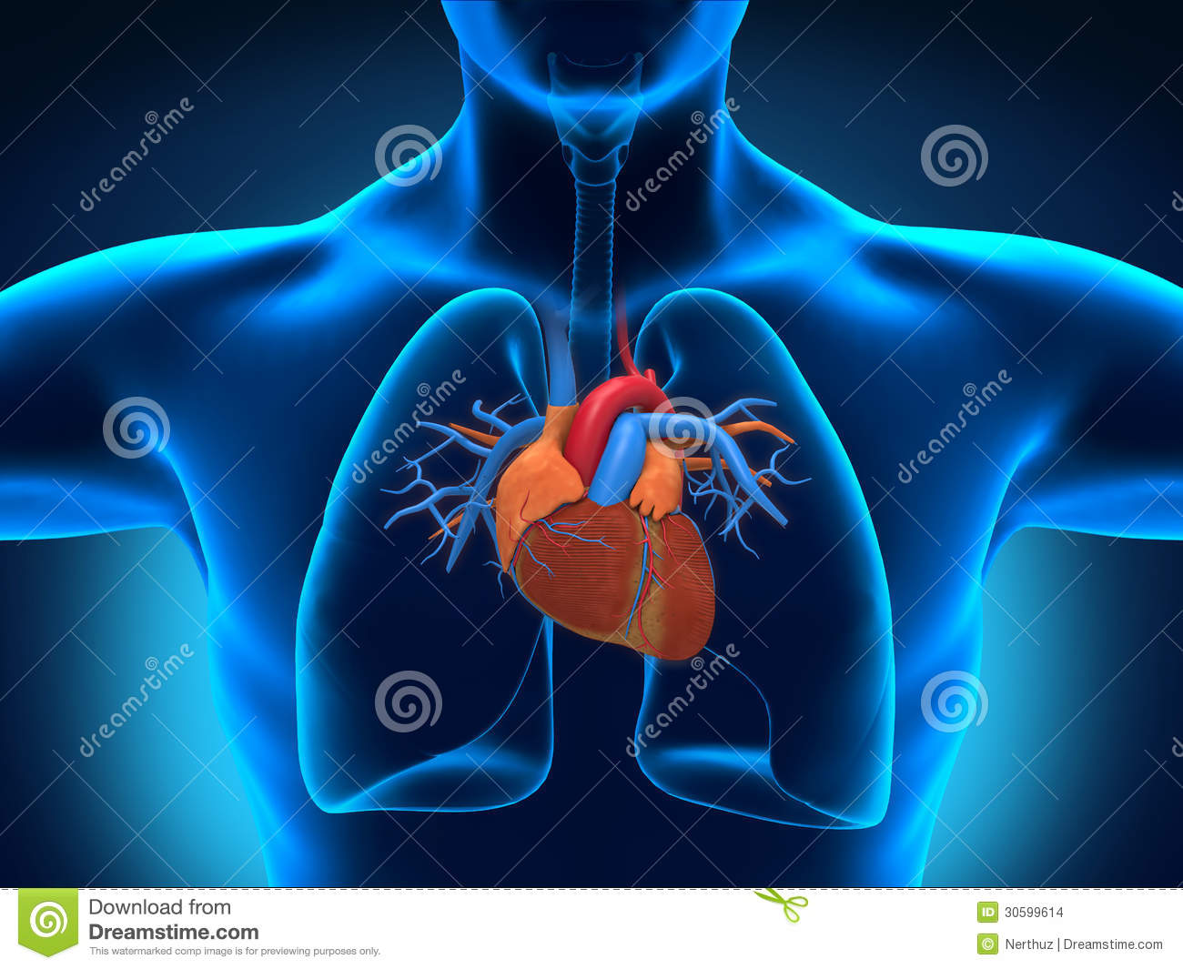 Human Heart Anatomy Illustration 30599614 Megapixl
