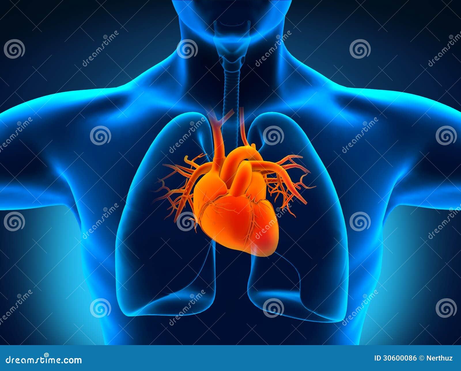 Human Heart Anatomy Royalty Free Stock Image - Image: 30600086