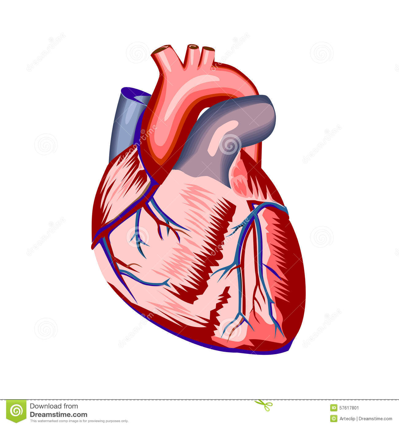 Human Heart Anatomy On White Stock Vector Illustration Of Love