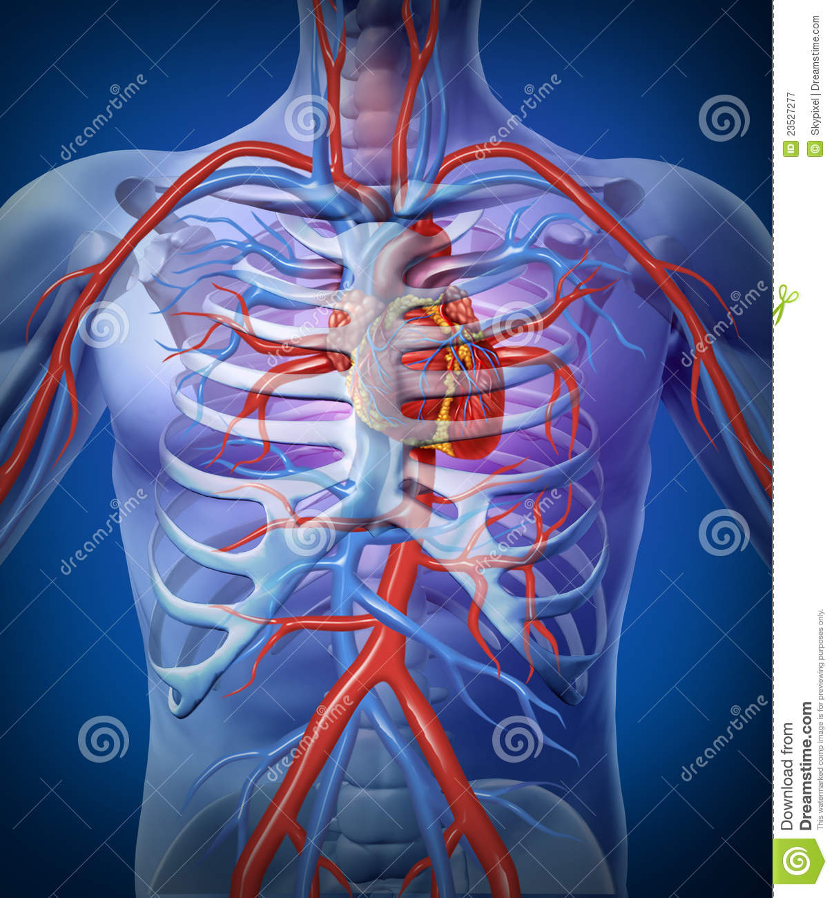 Human Heart Circulation In A Skeleton Stock Illustration