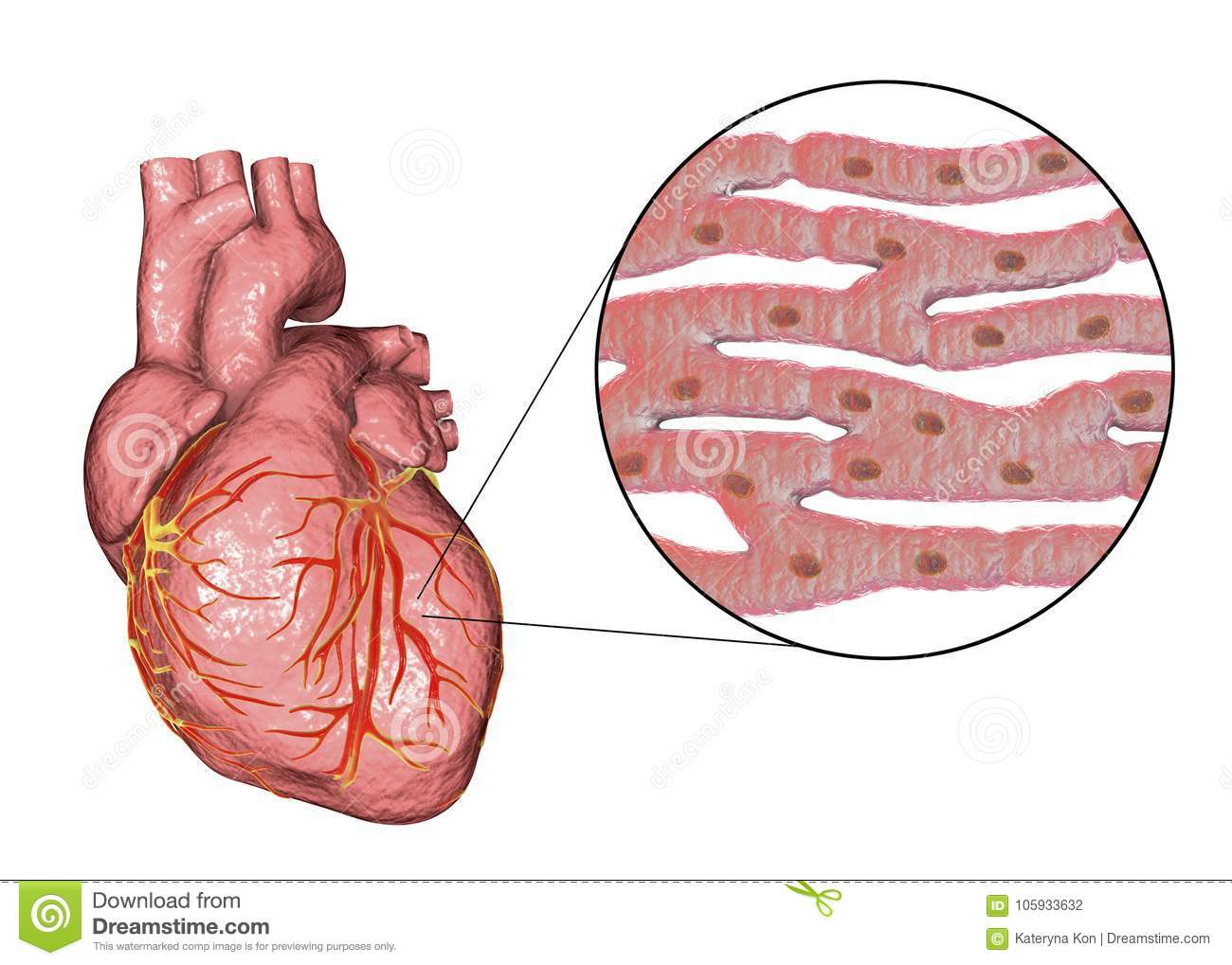Heart Muscle Structure Stock Illustration Illustration Of Medicine