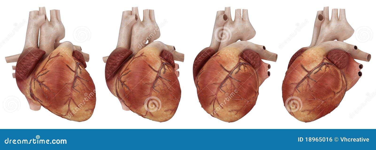 Human Heart And Coronary Arteries Stock Illustration - Illustration ...