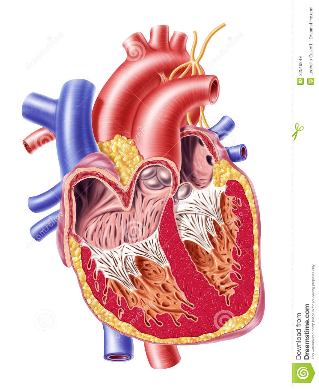Human heart cross section stock illustration illustration of download human heart cross section stock illustration illustration of artery 22516849 ccuart Image collections