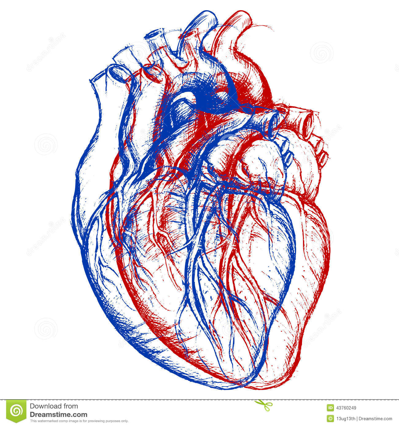 Drawing Lines Using Svg : Human heart d stock vector image