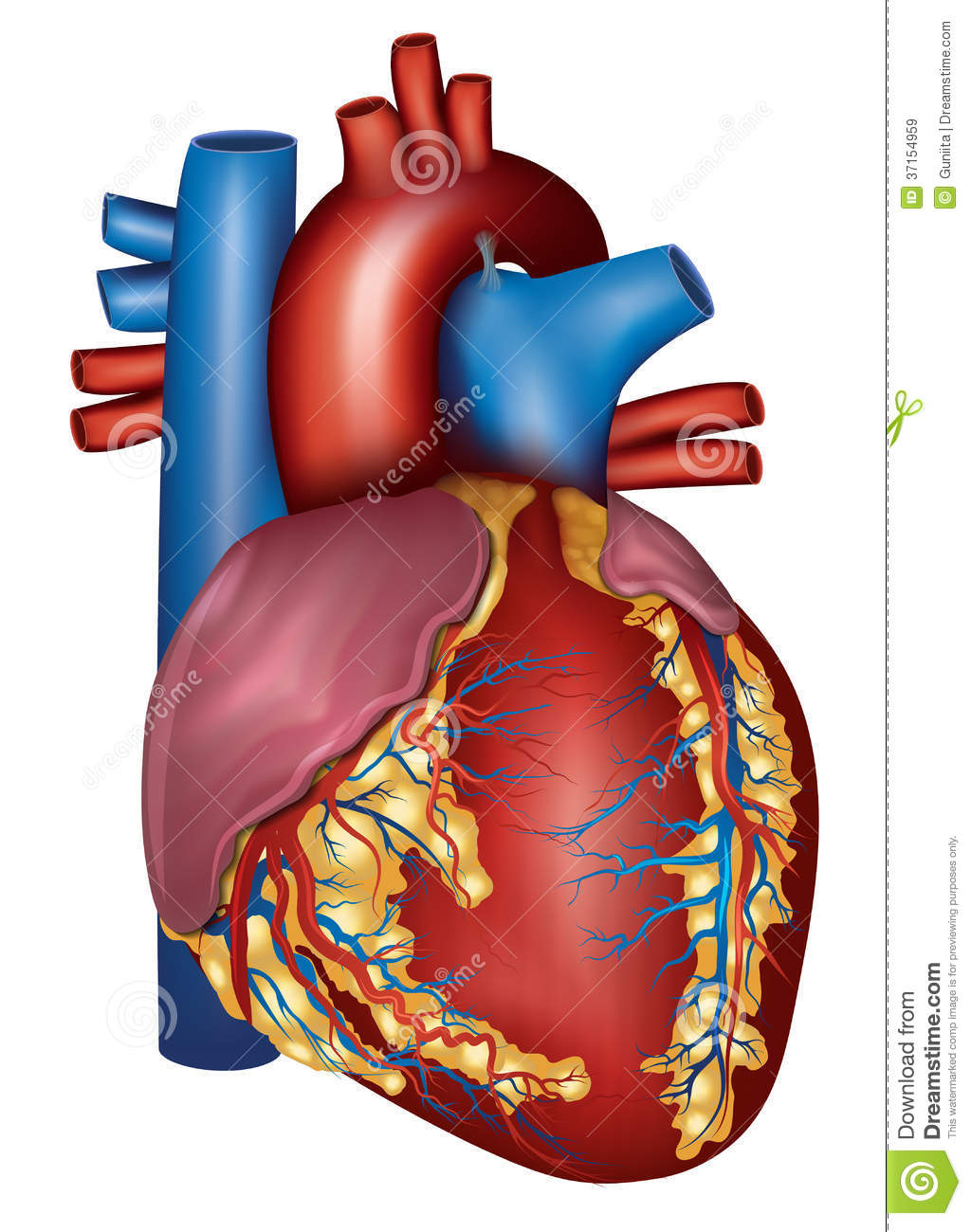 Human heart detailed anatomy colorful design stock vector download human heart detailed anatomy colorful design stock vector illustration of diagram blood ccuart Images