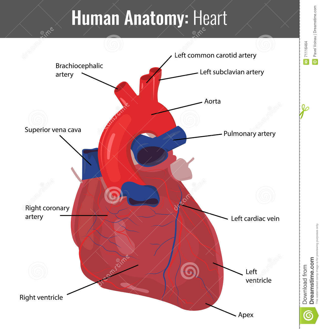 Human heart detailed anatomy vector medical stock vector download human heart detailed anatomy vector medical stock vector illustration of background heartbeat ccuart Images