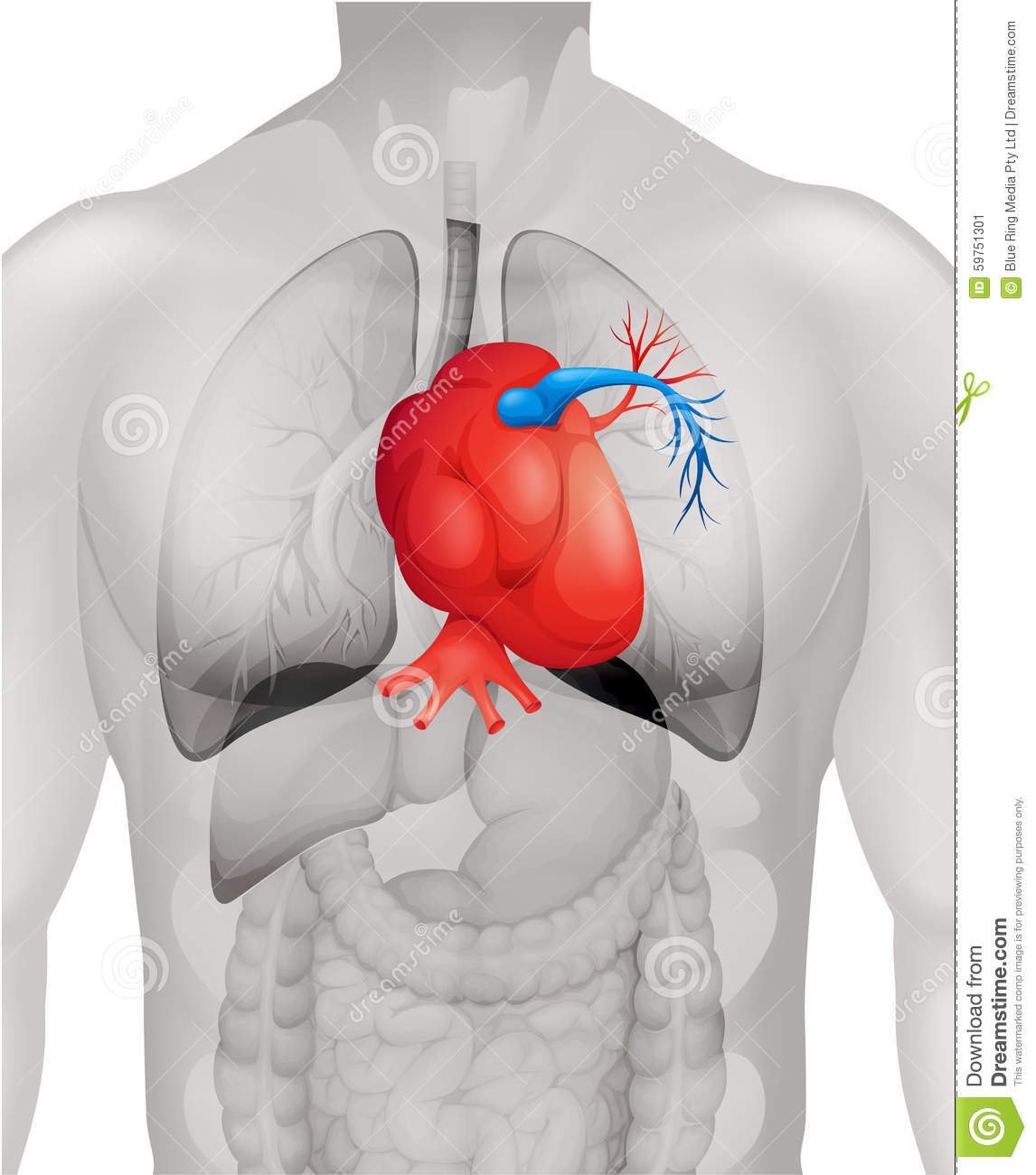 Human heart diagram in detail stock vector illustration of lung download comp ccuart Images
