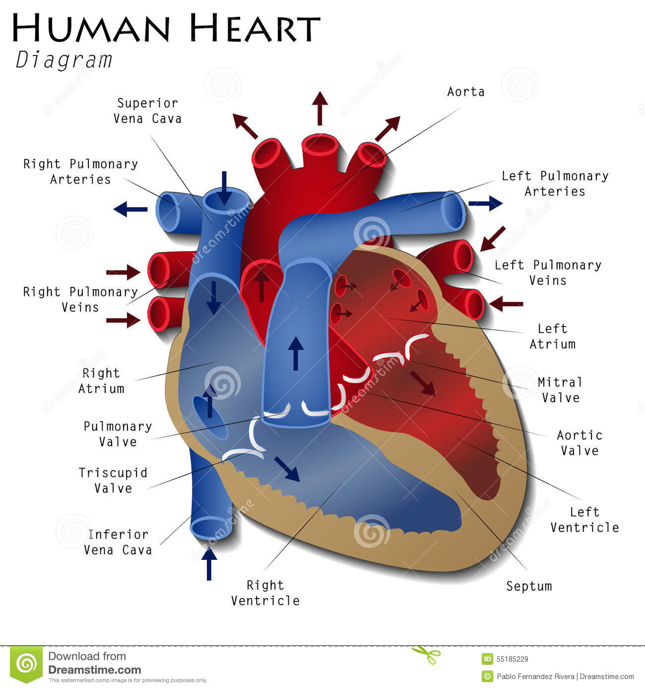 human heart diagram stock illustration - image: 55185229, Muscles