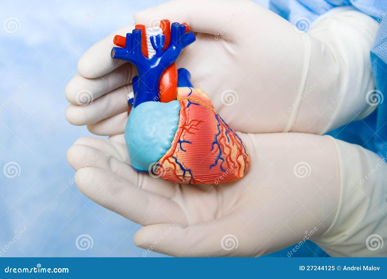Human heart in doctor s hands