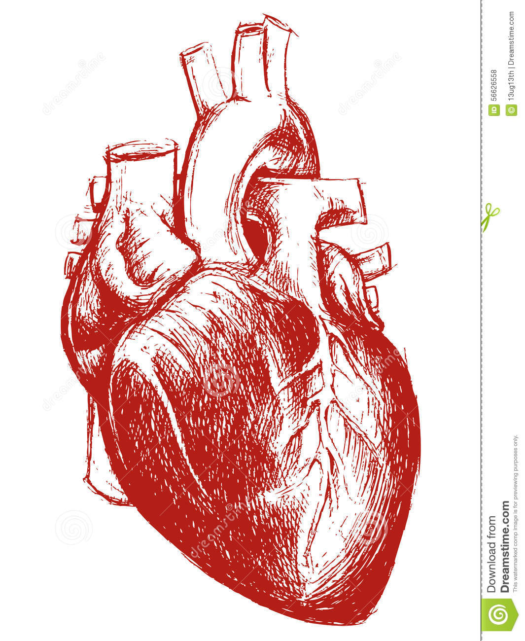 Drawing Lines Using Svg : Human heart drawing line work stock vector illustration