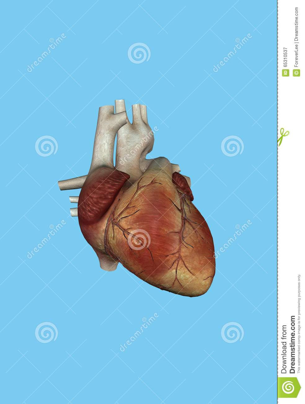 Human Heart Stock Illustration Illustration Of Biology 65310537