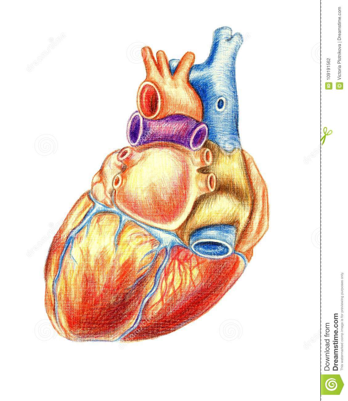 The Human Heart Viewed From Behind Stock Illustration - Illustration ...