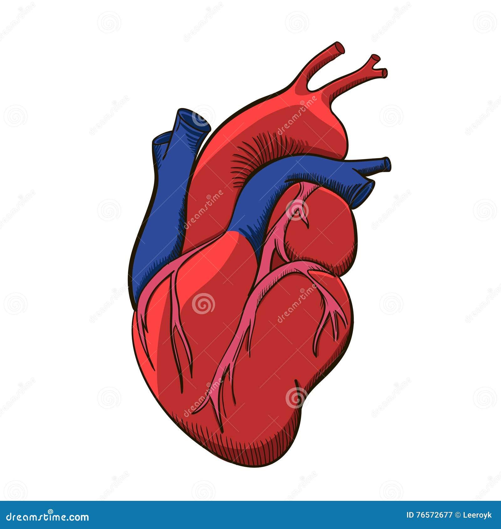 Human Heart Illustration Stock Vector Illustration Of Pulmonary